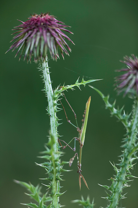 A mimetic cone-head mantis (Empusa fasciata) on musk thistle (Carduus nutans macrocephalus). Hutovo Blato Nature Park. Bosnia-Herzegovina. May 2009.<br /> Elio della Ferrera / Wild Wonders of Europe