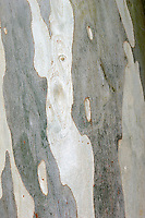 Broad-leaved Kindling Bark Eucalyptus dalrympleana (Height to 40m) similar to Ribbon Gum E. viminalis. Broadly domed with orange and buff bark, peeling in strips. Juvenile leaves heart-shaped, adult leaves long and lanceolate. Flower buds green. Widely planted.