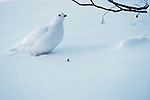 White-tailed ptarmigan, Washington, USA
