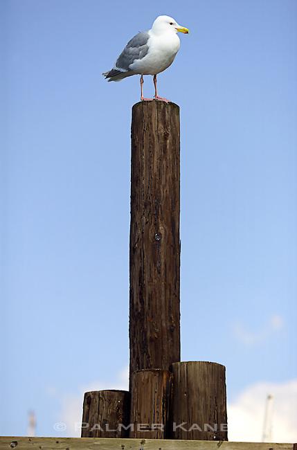 Gull sits atop marina piling