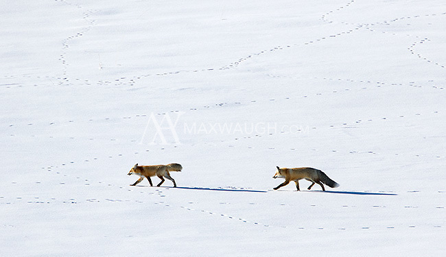 We found this courting pair during my photo tour, on a snow coach excursion through Hayden Valley.  You can see how much fox activity there had been in the valley already!