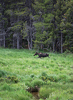 Moose in Rocky Mountain National Park, Colorado, USA