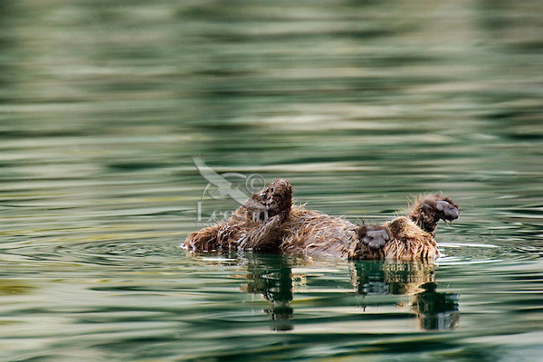Sea Otter (Enhydra lutris) pup stretching after nap.
