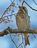 Adult female purple finch eating seeds in a tree, the birds were swarming the trees in my backyard to eat these seeds.