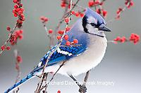 01288-053.05 Blue Jay (Cyanocitta cristata) in Common Winterberry (Ilex verticillata) in winter, Marion Co IL