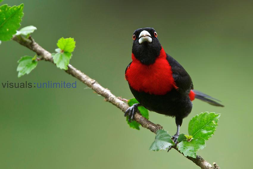 Crimson-collared Tanager (Ramphocelus sanguinolentus), Costa Rica.