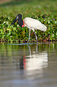 Adult jabiru stork (Jabiru mycteria) hunting in the margins or a lagoon. Western Pantanal, Paraguay River, Mato Grosso, Brazil.