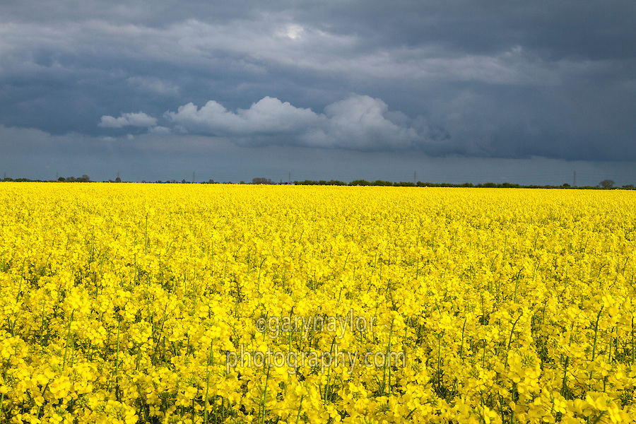 Oil seed rape in flower with dark rain clouds in the sky - Lincolnshire, May
