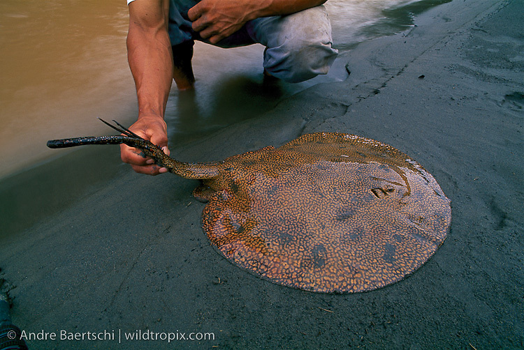 Freshwater Stingray, (Potamotrygon sp.), fisherman shows long poisonous serrated spine at the base of the tail, Tuichi River, lowland tropical rainforest, Madidi National Park, Bolivia.