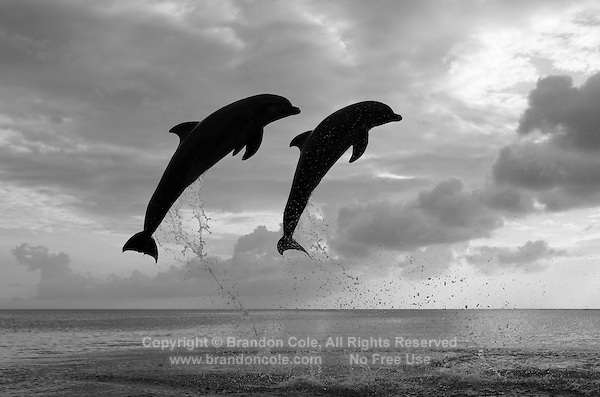 two bottlenose dolphins jumping | Marine Photography by ...