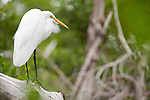 Ding Darling National Wildlife Refuge, Sanibel Island, Florida; a Great egret (Ardea alba) bird standing on a fallen log across the mangrove swamp © Matthew Meier Photography, matthewmeierphoto.com All Rights Reserved