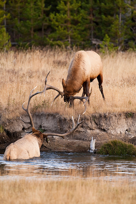 Two bull elk battle over breeding rights to a harem of cows; the elk in the river was the victor despite his compromised position.  Yellowstone National Park, Wyoming, USA, October 5, 2010.  Photo by Gus Curtis.