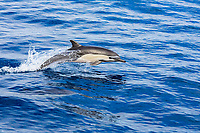 short-beaked common dolphin, Delphinus delphis, jumping, leaping, Mexico, Pacific Ocean