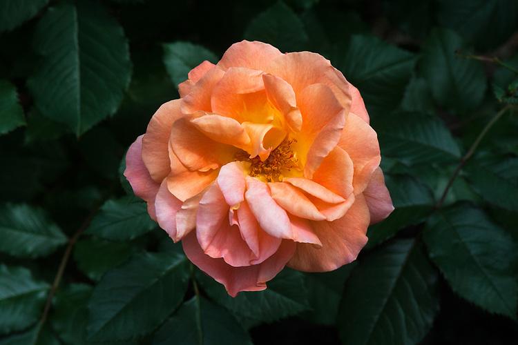Rosa Westerland ('Korwest'), mid June.