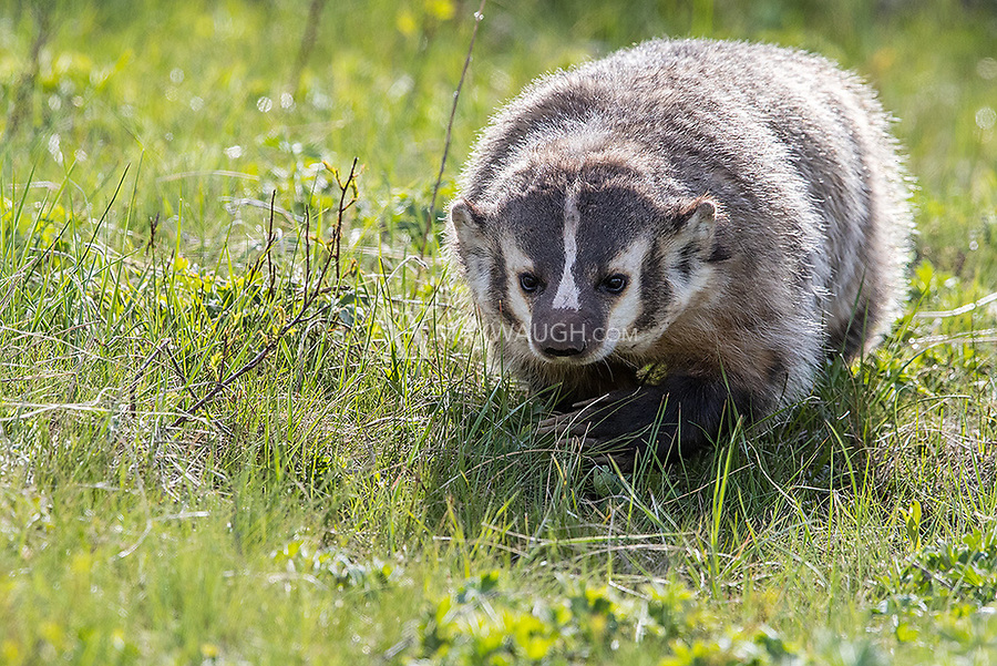 You never know when a badger will pop up. This one turned and came right at me, so I had to scoot out of the way.