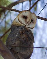 Barn Owl, Choke Canyon State Park, TX