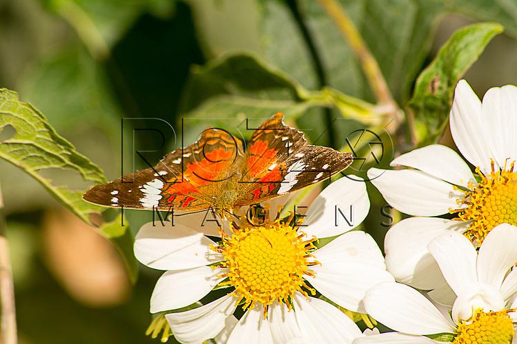 Borboleta colhendo pólen de flor, Cotia - SP, 06/2015.