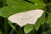 Ampferspanner, Ampfer-Spanner, Rotrandspanner, Rotrand-Spanner, Timandra comae, syn. Calothysanis amata, Blood-vein, blood vein, Spanner, Geometridae