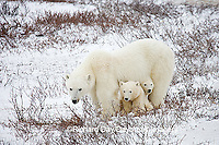 01874-110.06 Polar Bears (Ursus maritimus) female & 2 cubs near Hudson Bay, Churchill  MB, Canada
