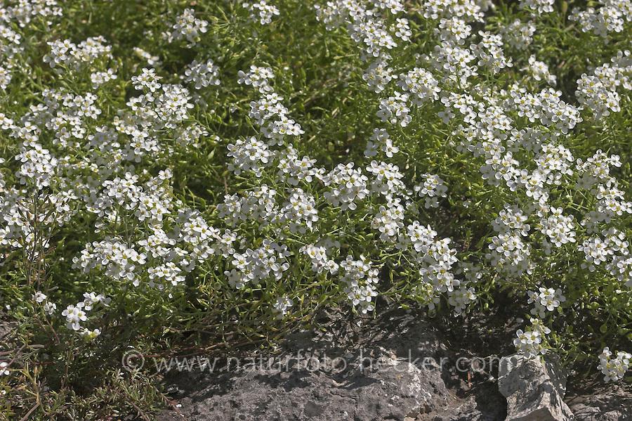 Alpen-Gämskresse, Alpen - Gämskresse, Pritzelago alpina, syn. Hutchinsia alpina, Chamois Cress, Cresson des chamois