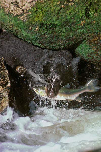 MA231  Black Bear catching salmon.  S.E. Alaska.