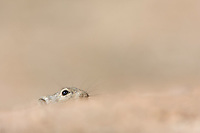 Brants's Whistling Rat peeping from burrow