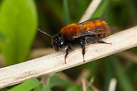 Rotpelzige Sandbiene, Rostrote Sandbiene, Fuchsrote Sandbiene, Andrena fulva, Andrena armata, Tawny mining bee, Tawny mining-bee, Sandbienen, Andrenidae, mining bees