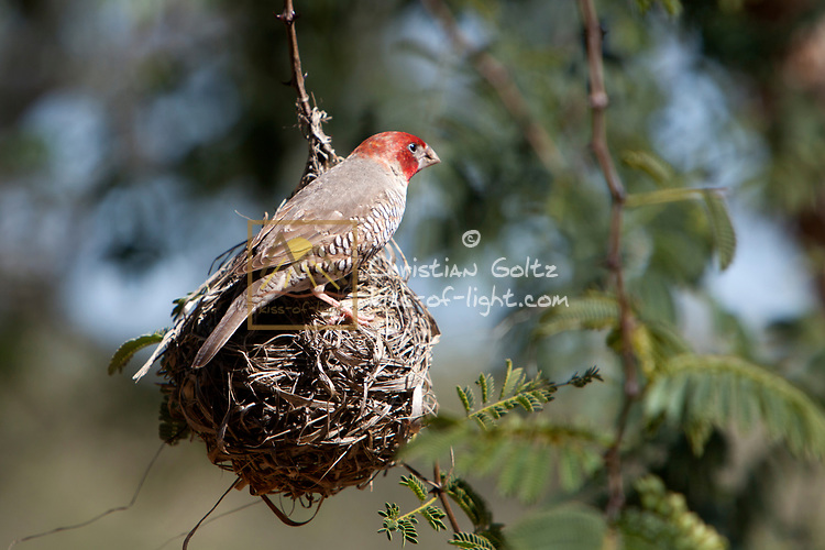 A male Red-Headed finch in Central Namibia. It is seen inspecting an abandoned nest of southern masked weavers. The red-headed finch sometimes does use the nests of other weavers to lay its eggs into.