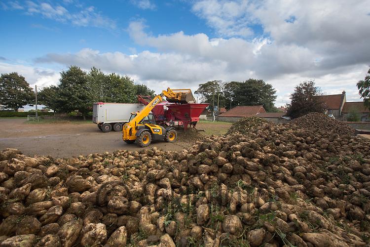 Contractors M &amp; J  loading lorries with sugar beet.<br /> Picture Tim Scrivener 07850 303986