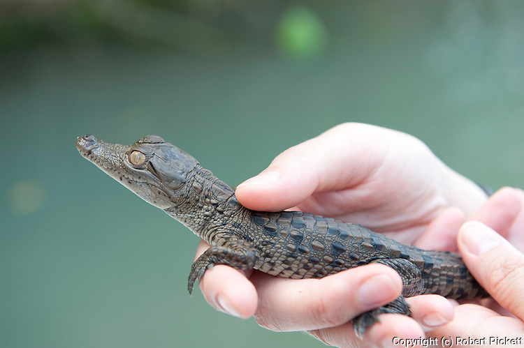 Person holding young Spectacled Caiman, Caiman crocodilus, Panama, Central America, Gamboa Reserve, Parque Nacional Soberania