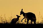 Eastern Grey Kangaroo (Macropus giganteus) mother and joey at sunset, Mount Taylor Nature Reserve, Canberra, Australian Capital Territory, Australia