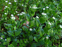 Vogel-Sternmiere, Vogelmiere, Vogel-Miere, Stellaria media, Common Chickweed