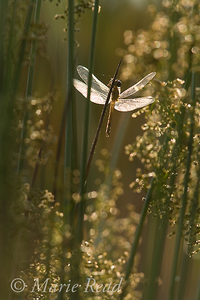 Sunlight shines through the wings of a a dragonfly perched on the stem of a rush in early morning, New York, USA