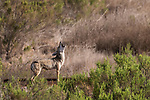 Rose Canyon, San Diego, California; a female coyote howling at passing pet dogs while standing alongside train tracks in early morning sunlight
