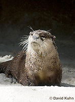 0508-1009  Cape Clawless Otter (African Clawless Otter or Groot Otter), Aonyx capensis capensis  © David Kuhn/Dwight Kuhn Photography.