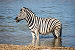 A Zebra Chilling-out In The Water.