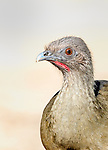 Close view of face of a Plain Chachalaca