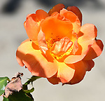 Rose Subtleties