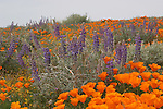 california poppies and lupine in the Antelope Valley