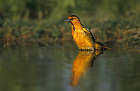 Bullock's Oriole, Icterus bullockii,male bathing, Starr County, Rio Grande Valley, Texas, USA