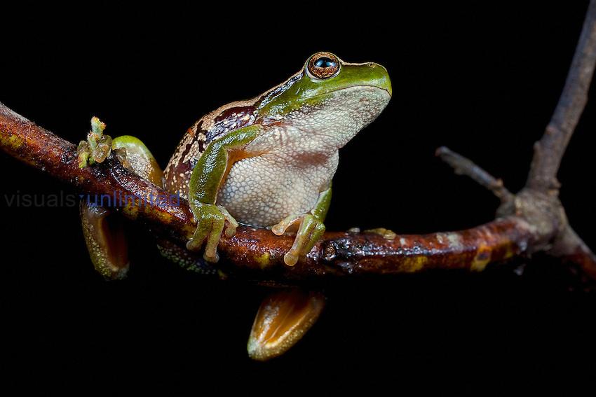 Leaf Green Tree Frog (Litoria nudidigitus), Snowy Creek, Victoria, Australia