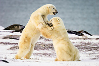 Two adult male Polar Bears (Ursus maritimus) engaged in ritualistic fighting (serious injuries are rare) near Churchill, Manitoba, Canada., polar bear, Ursus maritimus