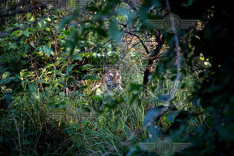 T1, one of the female tigers living in the Panna Tiger Reserve. She is wearing a Very High Frequency (VHF) collar which allows staff at the reserve to track her.