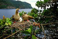 Red-footed booby, Sula sula, Cocos Island, Pacific Ocean