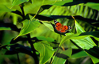 Kamehameha butterfly, an endemic species, one of only two native butterflies. (Vanessa tameameae).