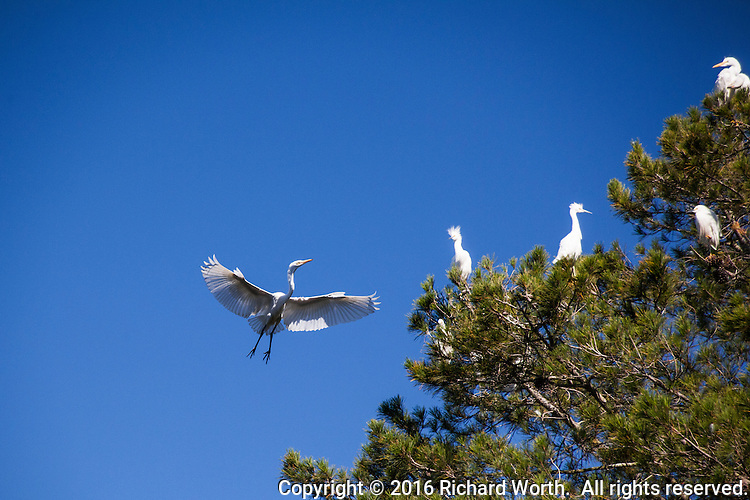 A Great egret comes in for a landing on a tree already brimming with roosting egrets in Alameda, California.