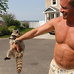 A young raccoon clings to the arm of a man who wished to remain unidentified man in Knollwood Beach in Huntington on Thursday August 3, 2006. The man has been caring for the animal after it was found near its mother apparently killed in a traffic accident; and was reluctent to give his name because he wasn't sure it was legal to care for the animal. (Newsday Photo/Jim Peppler)