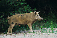 Feral Pig, Sus scrofa, boar, Starr County, Rio Grande Valley, Texas, USA, May 2002