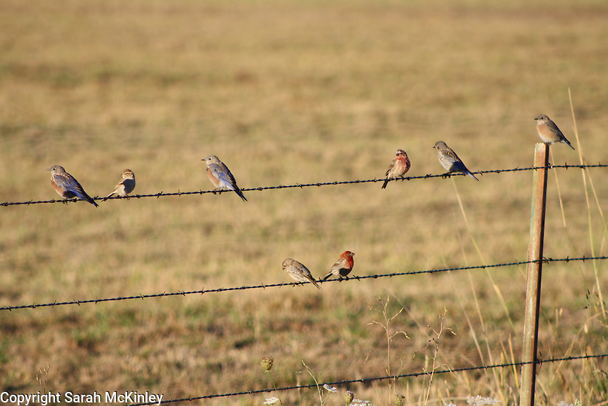 Bluebirds, finches, and a sparrow perched on a barbed wire fence outside of Willits in Mendocino County in Northern California.