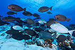 Fakarava Atoll, Tuamotu Archipelago, French Polynesia; a large school of yellowmask surgeonfish swimming into a swift current